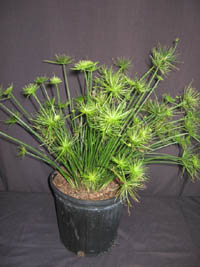 Cyperus Isocladus Dwarf Papyrus
