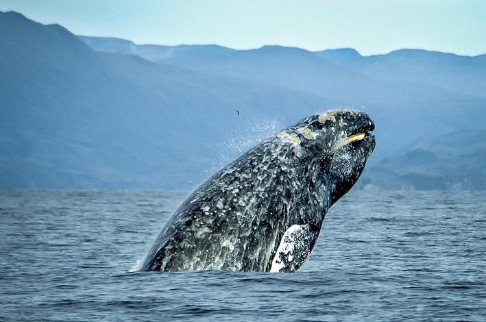 Epic Gray Whale Migration Reaches South Alaska And Bering