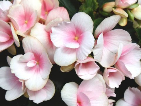 9 Best Flowers for Garden Design   Reader s Digest These flowers are popular for their variety  coming in red  orange  yellow   white  salmon  or pink blooms  Tuberous begonias blossom throughout the  summer