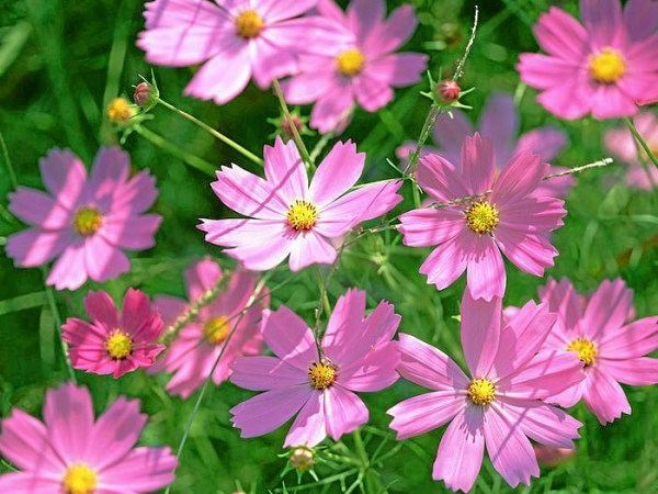 Cosmos flowers are drought tolerant and thrive in hot weather     Pink cosmos