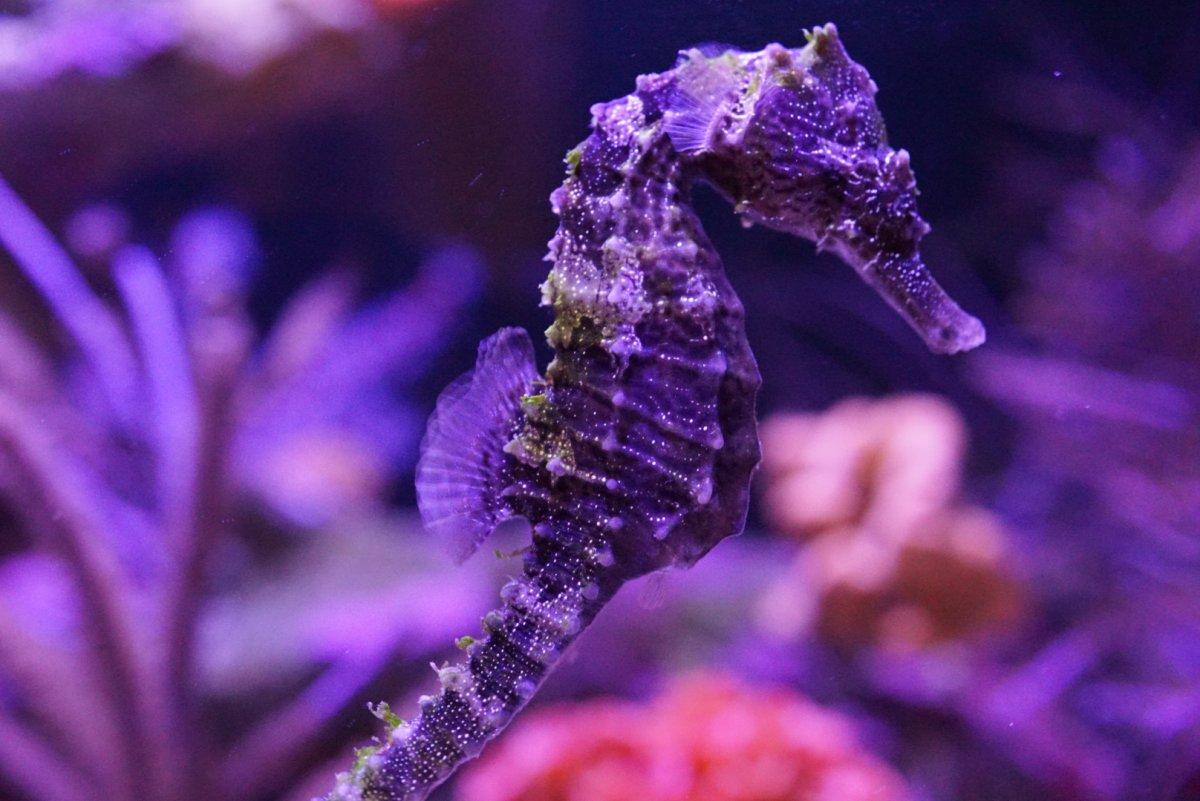 purple seahorse - HD1200×801