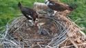 Wildlife officers investigating shooting of osprey near Loveland