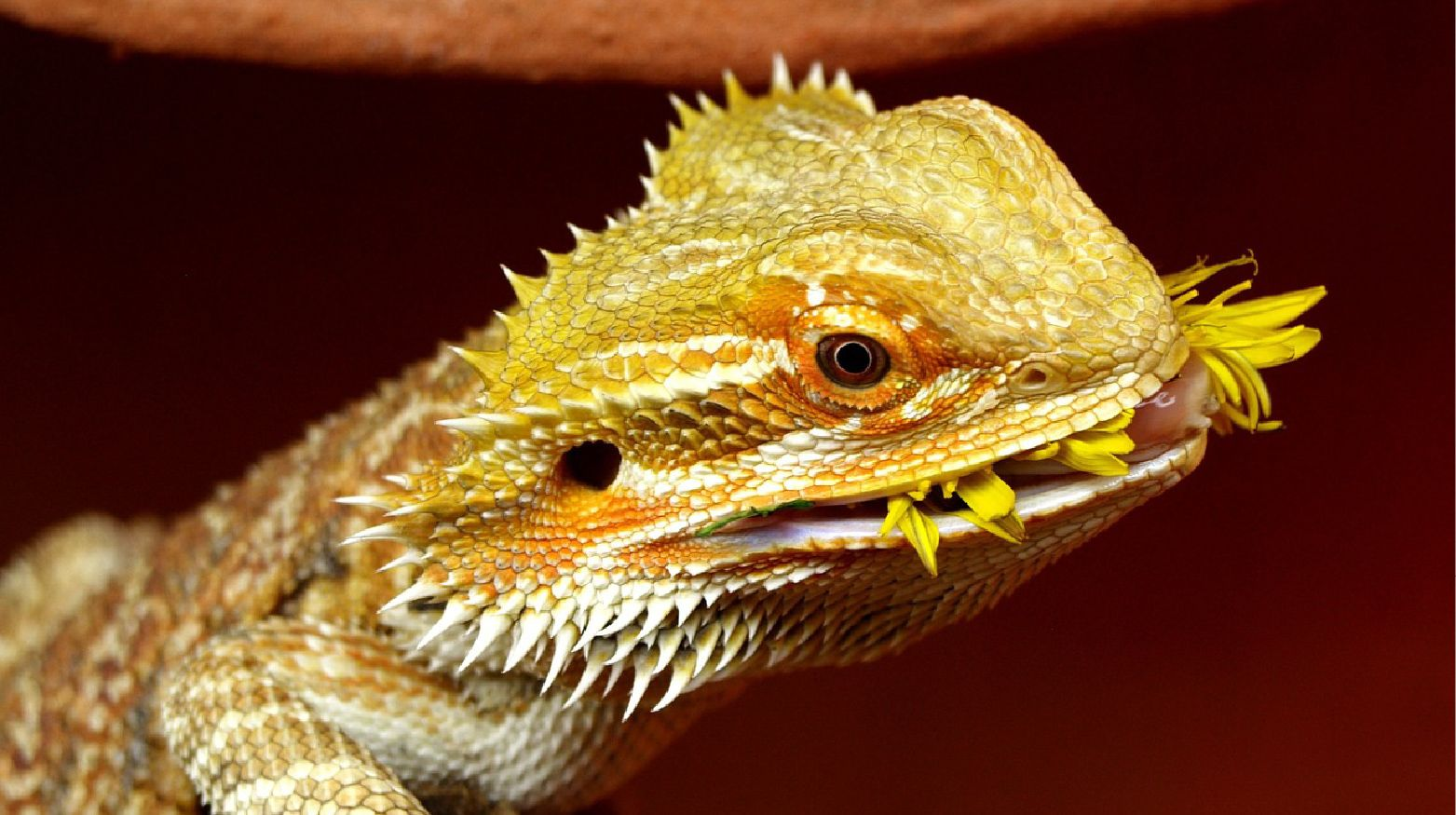 Bearded Dragon Diet Guide: Feeding Your Bearded Dragon the ...