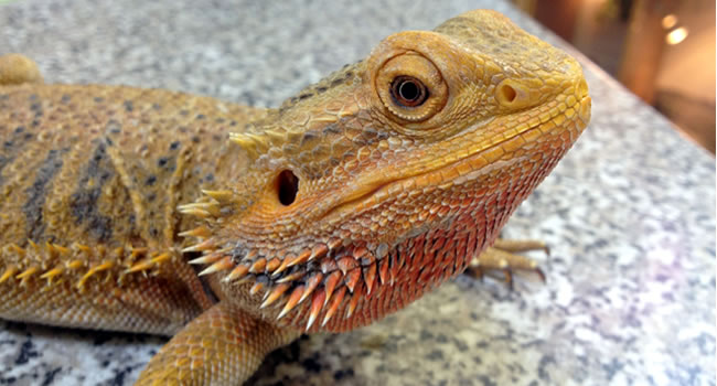 Are Bearded Dragons Good Pets? 5 Reasons To Say Yes ...