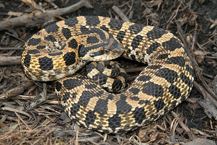 Eastern Hognose Snake Facts and Pictures | Reptile Fact