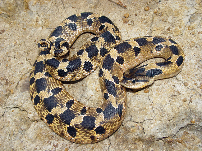 Eastern Hognose Snake Facts and Pictures