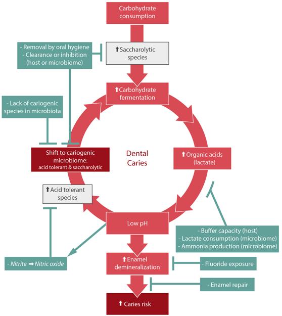 Positive Feedback Examples Biology Loop