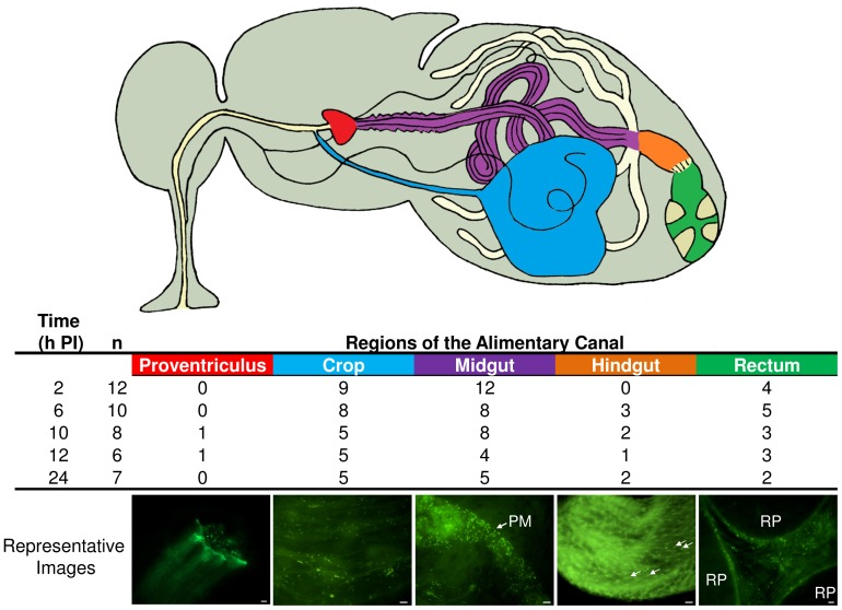 Diagram Of Salmonella Enterica Bacteria