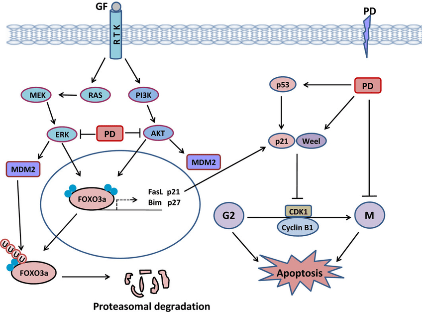 Cancer Cell Cycle Diagram Growth Factor