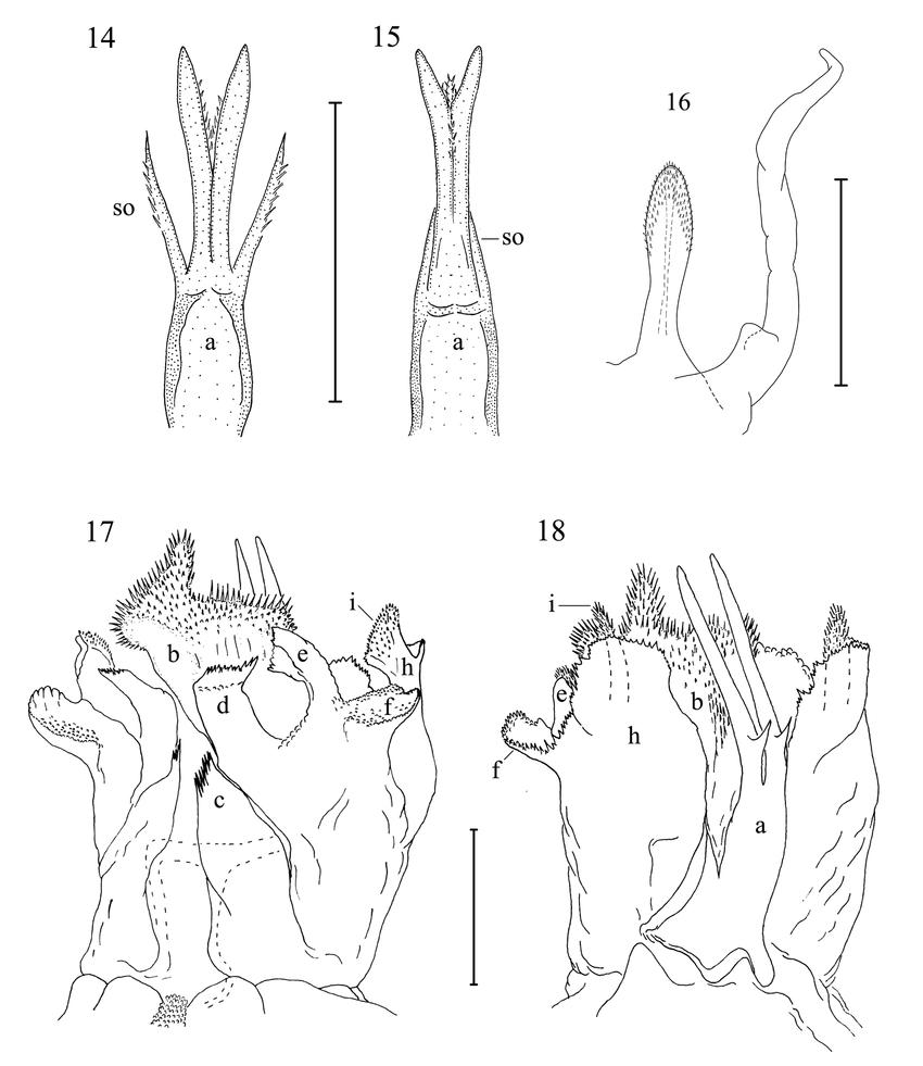 Figs 14 18 14 16 belbogosoma stribogi n sp