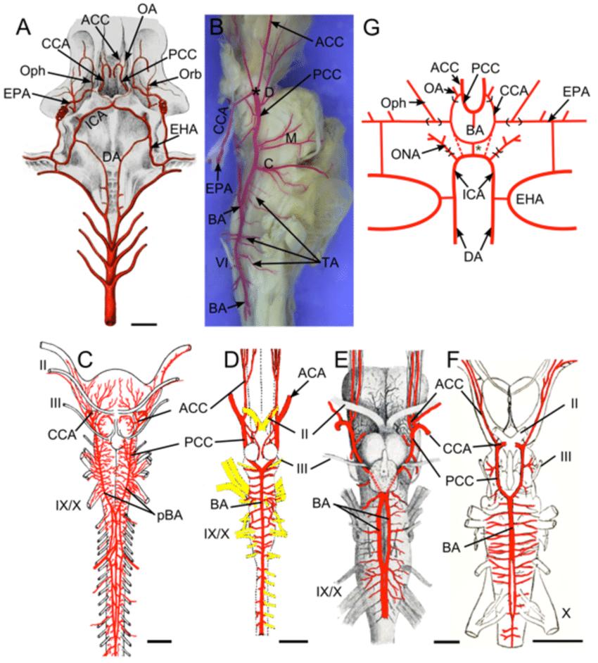 Brain Stem Anatomy With Vasculature