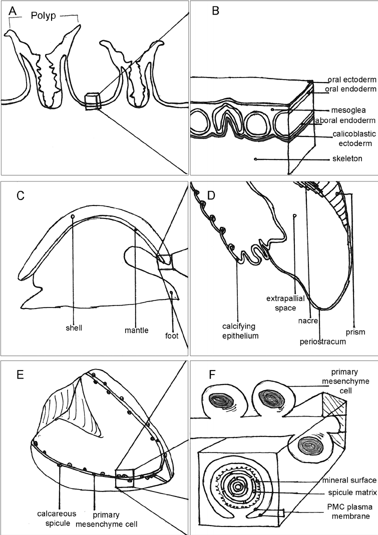 Figure 1 schematic of drawings three biomineralizing marine inverte brates a b