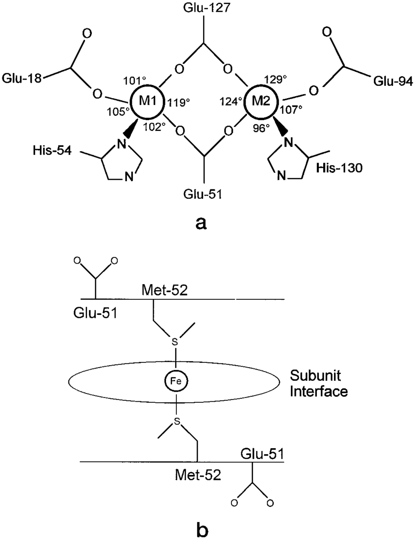 Schematic representation of the ferroxidase center and heme site of
