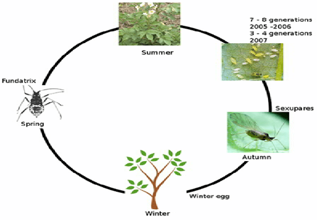Aphid Life Cycle Diagram