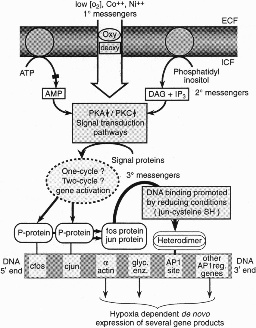 Schematic diagram of 02 sensing and signal transduction