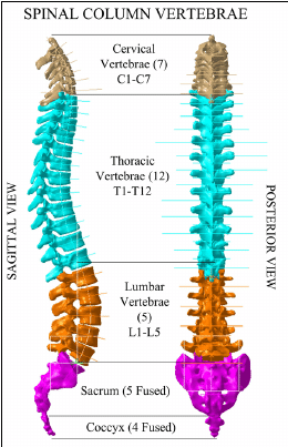 Parts Of The Thoracic Spine Vertebrae