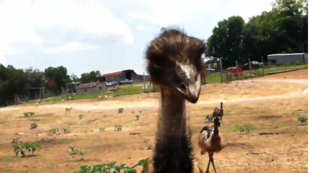 Original Video Attack Of The Emu Rtm Rightthisminute
