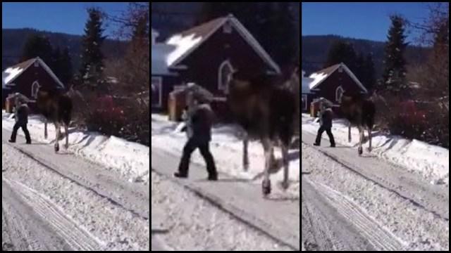 Moose Karate Kicks Woman Rtm Rightthisminute