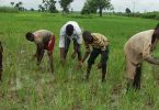 Osun approves N377m loan for rice farmers