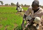 RICE CULTIVATION: Ekiti to partner Lagos in rice production