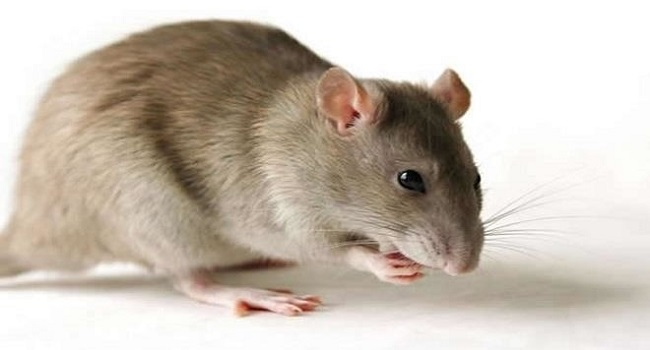 Lassa Fever prevalence in Ondo worries Christian community