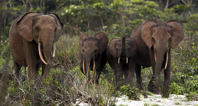 Forest elephants are our allies in the fight against climate change, finds research