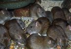 LASSA FEVER: Expert offers advice on avoiding the plague