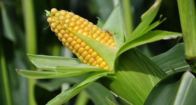 CBN issues emergency approval to four firms to import maize