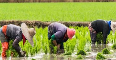 CBN to bear half of farmers' losses as Nigeria reels from worst drought in five yrs