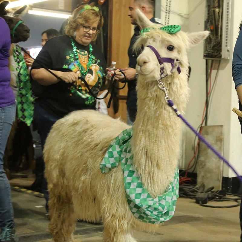 Llama And Alpaca Parade Houston Livestock Show And Rodeo