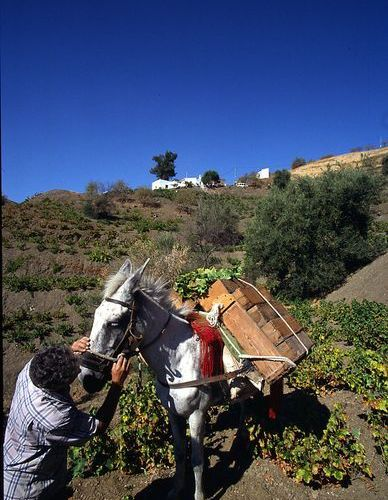 Tradition abounds in the Axarquia, including manual harvesting with donkeys. (Photo; Consejo Regulador D. O.).