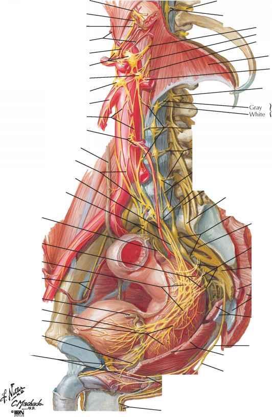 Sacral Splanchnic And Pelvic Nerves