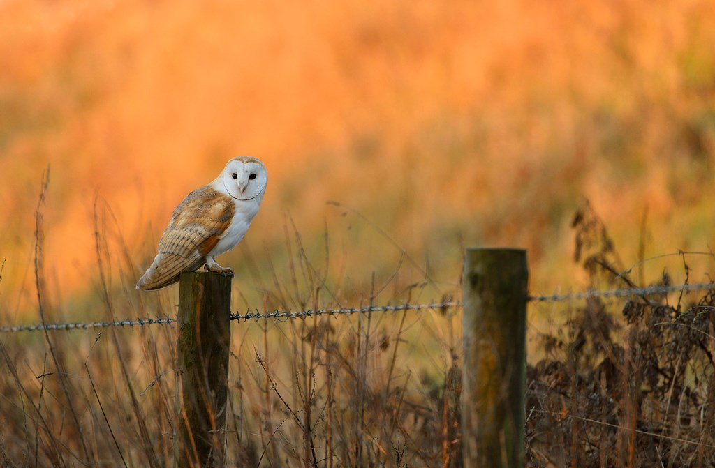 Now is the right to learn some of the most fascinating barn owl facts for kids including barn owl habitat diet breeding and its behavior The barn owl Tyto alba