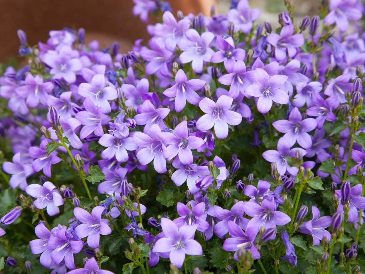 Purple flowers for your garden   Saga Campanulas are delicate purple flowers that are ideal for a cool colour  scheme