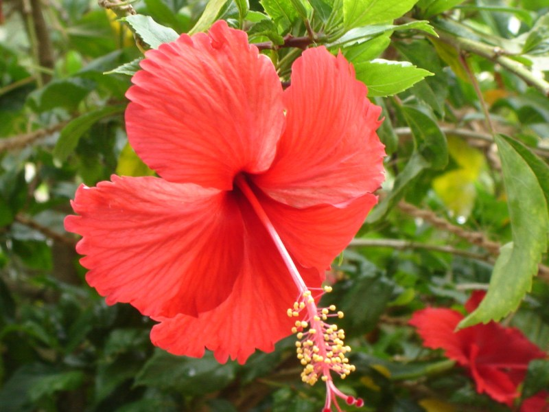 Jaipur s Flowering Shrubs What s blooming at Savista    Savista Hibiscus flower  gurhal