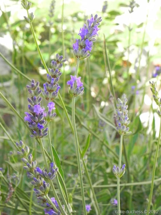 image of lavendar plant