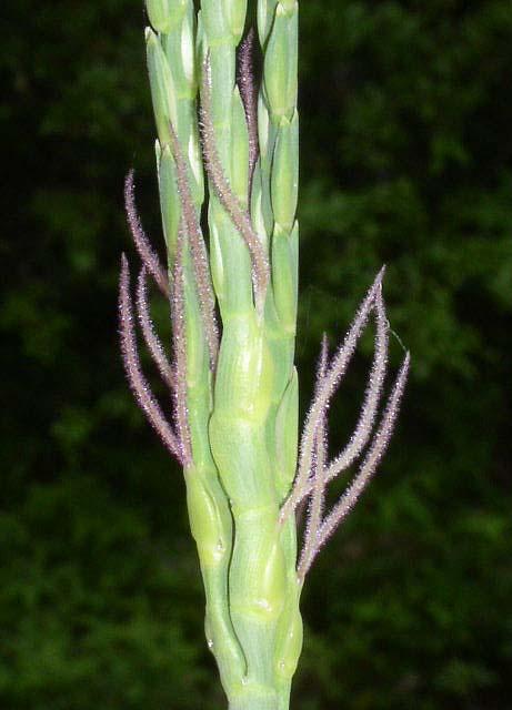 Tripsacum Dactyloides