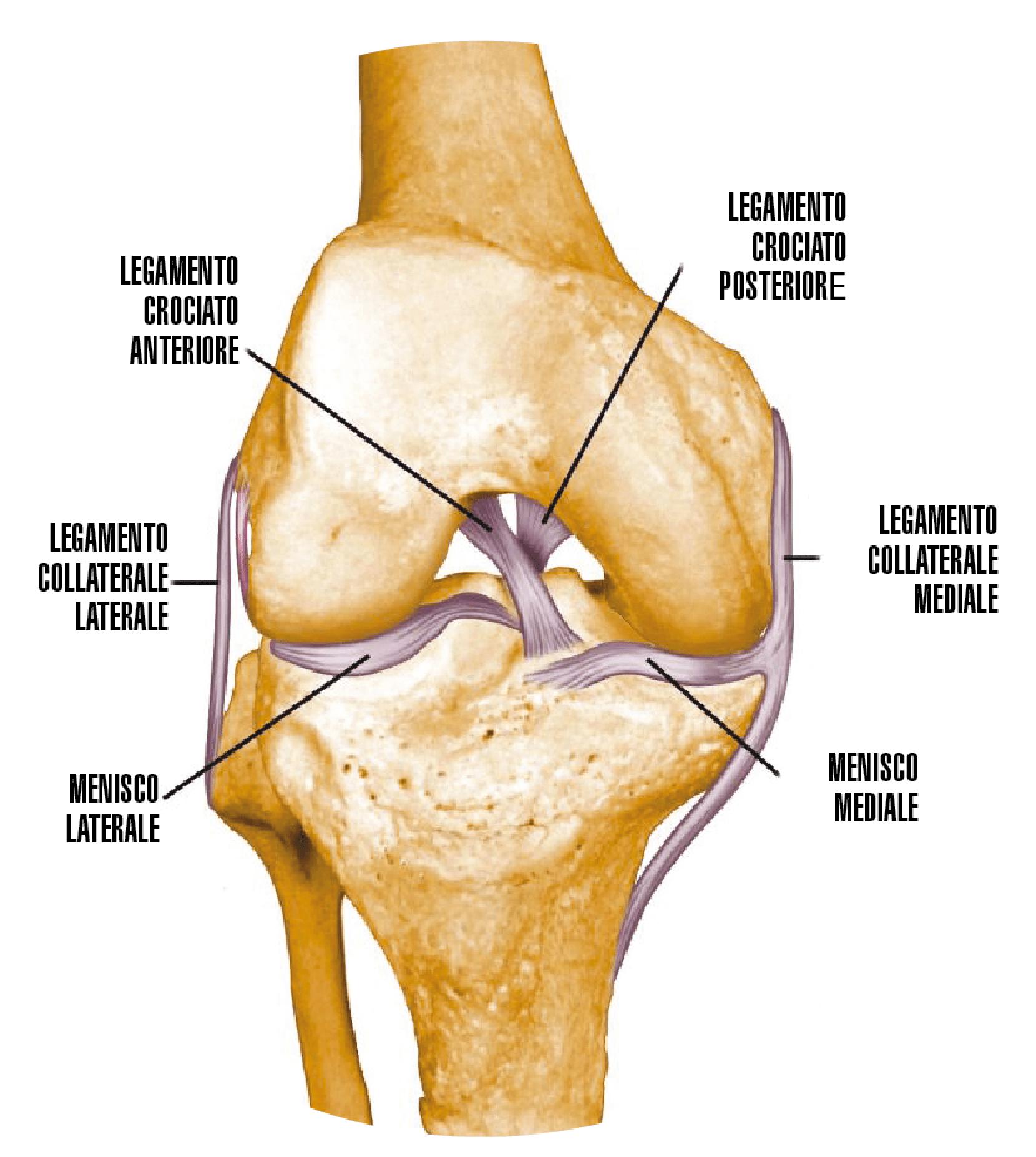Ginocchio / Legamento mediale e laterale
