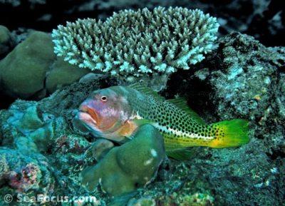 Hawkfish – image gallery | marine species information ...