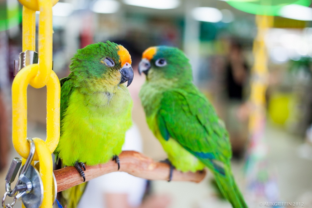Peach Fronted Conure Facts Care As Pets Price Pictures