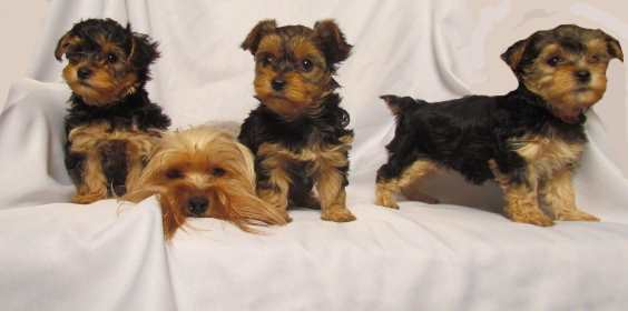 Yorkie Poo Dogs Puppies Cute