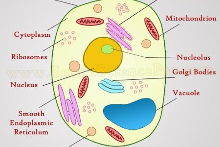 Diagram of animal cell and plant cell path decorations pictures venn diagram plant vs animal cell venn diagram plant vs animal cell name br date br period animal cell structure function of animal cell biology animal cell ccuart Choice Image
