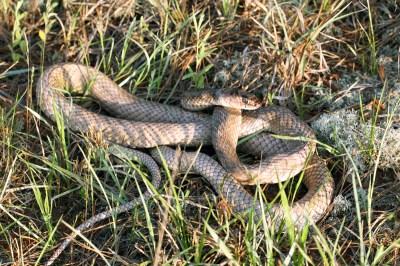 Alexander D. McKelvy - Snake Evolution and Biogeography