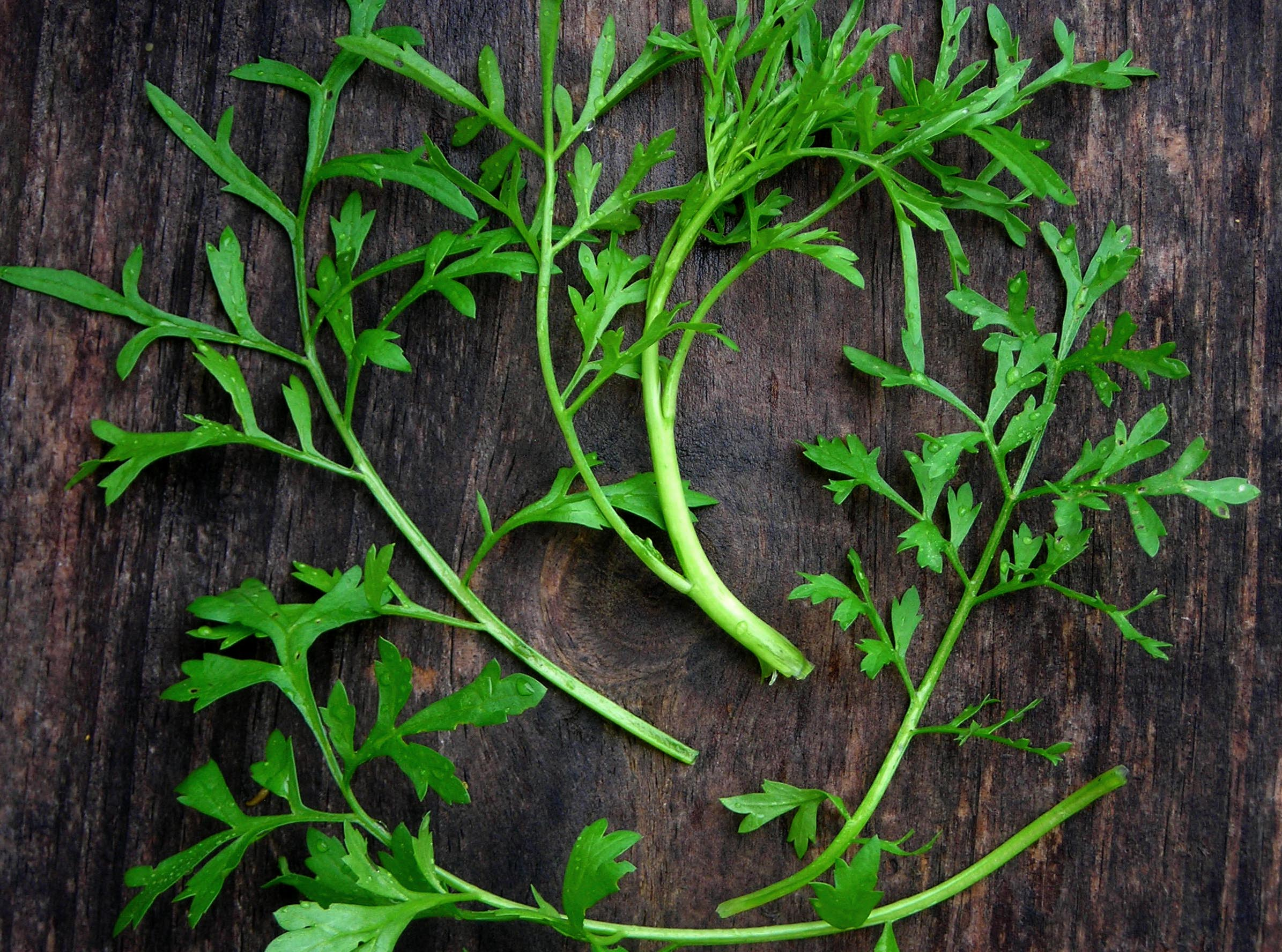 Curly Cress Garden Cress 2 G Southern Exposure Seed