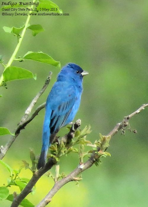 Pair Indigo Bunting Bird