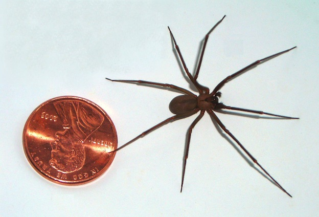 Brown Recluse Spider - Spider Facts and Information