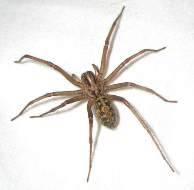 Hobo Spider - Spider Facts and Information