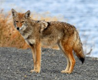 Image of: Unexpected Coyote Land Animals Mammals Animal Messages And Totems Spiritanimals Spirit Animal Totems Coyote Symbolism Coyote Meaning Coyote Totem Coyote Dream And
