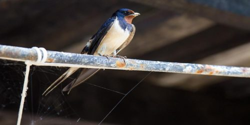 Swallow_bird_01
