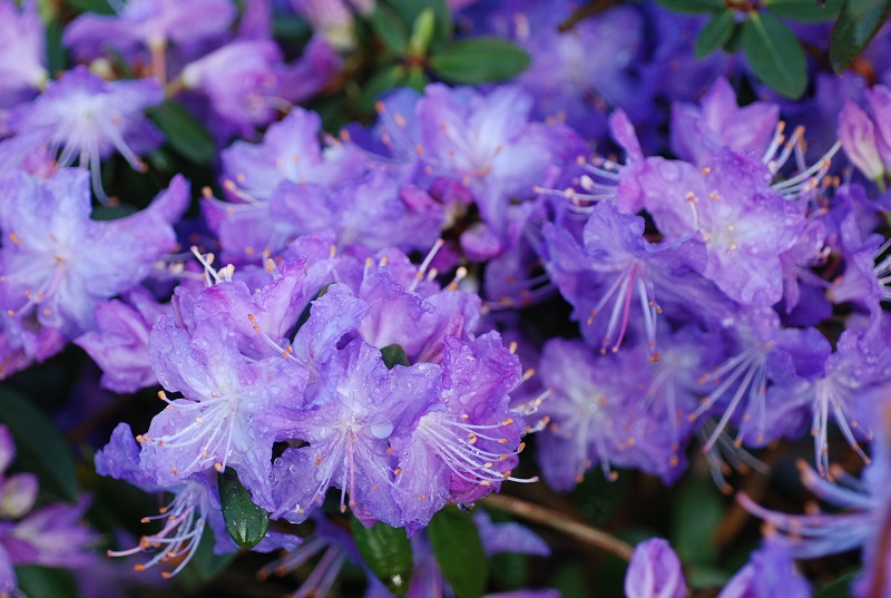 Rhododendron Blaney S Blue